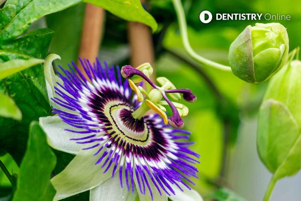 blue crown dental named after the blue crown passionflower
