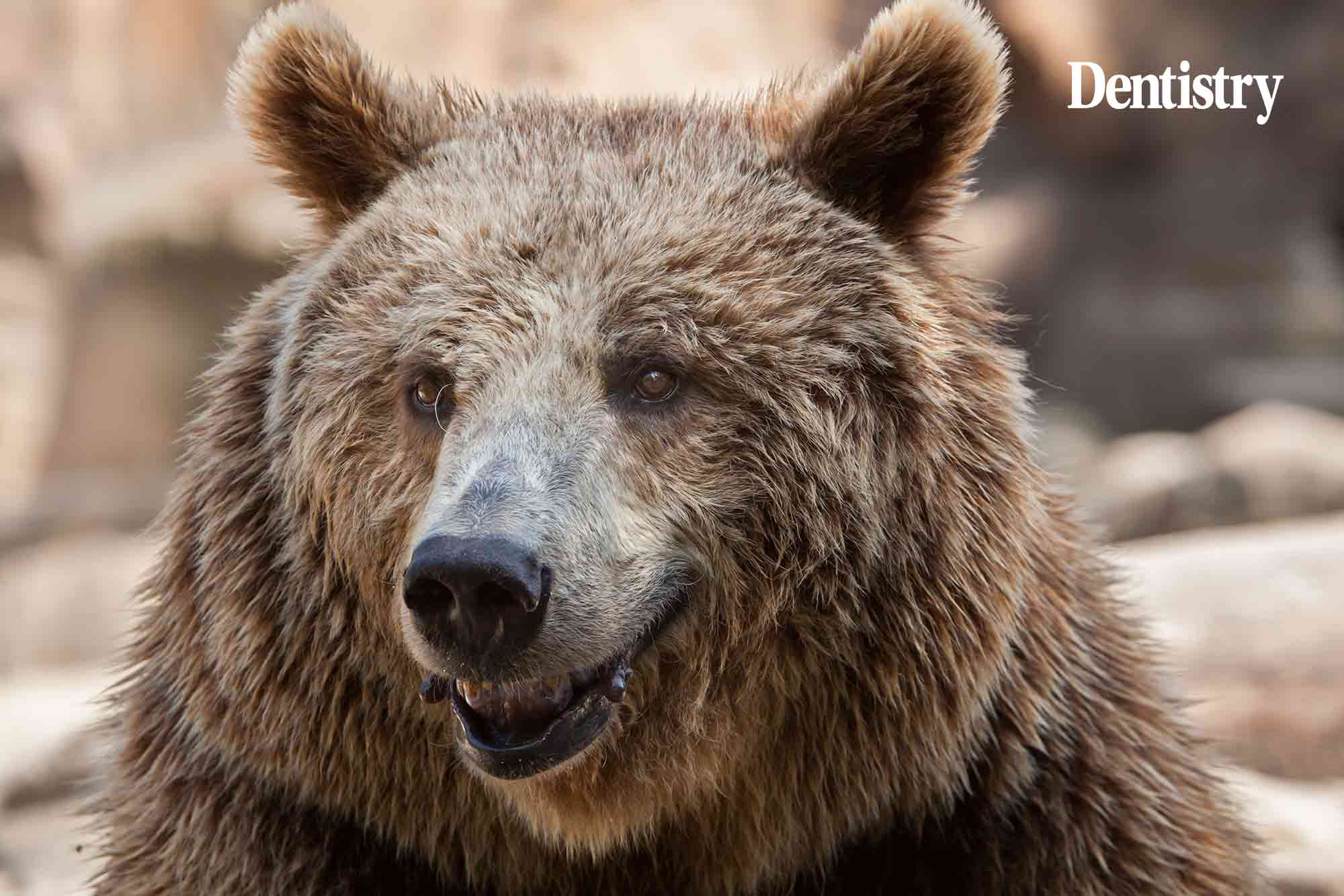A brown bear suffering from toothache underwent a root canal treatment to remove an abscess